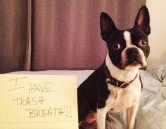 Barkpost - Boston Terrier 4