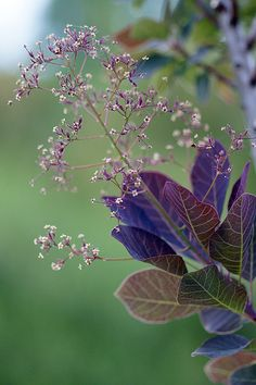 cotinus coggygria royal purple -  royal purple smoke bush - Invite lush and changing color into your landscape with Royal Purple Smoke Bush. New growth opens red and then deepens to rich purple, complemented by feathery flowers. But wait—the show's not over. Fall brings a burnished orange color to its foliage. Growing to 10 feet high and wide, this is a standout as an accent, barrier, or border. Photo: parkseed.com