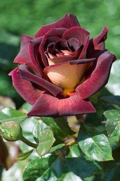 "Rose ~ Miks' Pics ""Flowers ll"" board @ http://www.pinterest.com/msmgish/flowers-ll/"