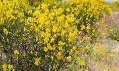 Spartium Junceum (Spanish Broom), Spanish Broom, Rush Broom, Weaver's Broom, Mediterranean plants, Mediterranean shrubs,…
