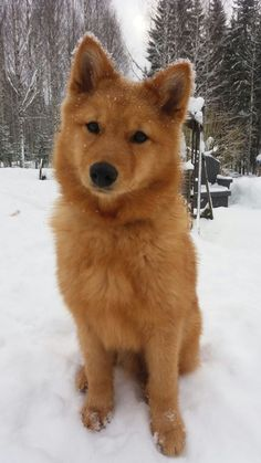 Best Finnish Spitz Dog Names dog breeds Spitz Dog Breeds, Spitz Dogs, Cute Dogs Breeds, Cute Dogs And Puppies, Doggies, Rare Dog Breeds, Cute Big Dogs, Puppies Puppies, Baby Dogs