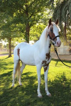 QH/Peruvian Paso Gelding | Horses For Sale | Epona Exchange - Brillante