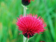 Cirsium rivulare 'Atropurpureum' is the most  intensely colored of all garden thistles. Elevated on upright, branched leafy stems, the  densely packed dark crimson flowers have a symmetrical appearance that  beckons pollinating insects.