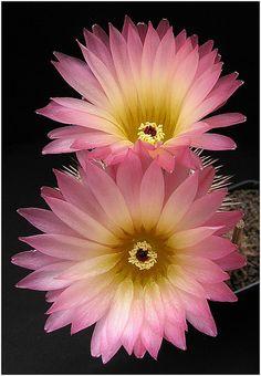 Notocactus rutilans - Flickr - Photo Sharing!