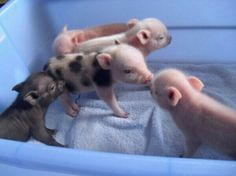 puny porkers mini pigs - I want to buy them! puny porkers mini pigs - I want to buy them! Cute Baby Pigs, Baby Piglets, Cute Piglets, Baby Teacup Pigs, Mini Piglets, Teacup Piglets, Animals And Pets, Funny Animals, Farm Animals