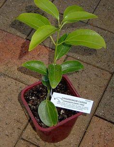 How To Grow Cinnamon In Your Garden...