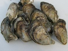 Chesapeake Bay Oysters in the Shell