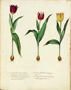 Botanical - Flower - Tulip - Italian (2)