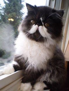 Mustache persian cat