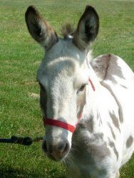 Molly is an adoptable Donkey Donkey in Dansville, MI. In mid-April our lovely Molly went into labor and I knew immediately that she was in very serious trouble. Our veterinarian Perry Ragon was called...