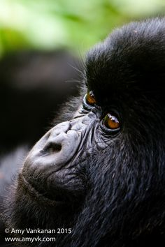 """""""Gentle Gaze"""" by Amy Vankanan: I was lucky enough to get to see these highly endangered creature in the wild jungles of Rwanda."""
