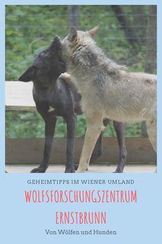 Der Wolf ist ein hochemotionales Thema. In Ernstbrunn kann man sich den Tieren gefahrlos nähern und erfährt über deren Intelligenz und ihre hohe Sozialkompetenz Travel City, Wolf, Horses, Group, Board, Animals, Social Skills, Hush Hush, Families