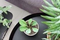 Oravanpesä | Nukkatyräkki Euphorbia leuconeura