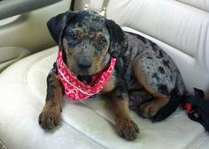 Roxy the Catahoula Leopard Dog-Here's a beautiful little rescued puppy! Who could abandon such a sweet heart!!!