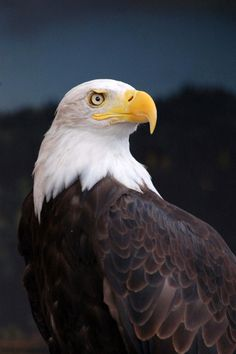 Bald Eagle Eye of Prey Bold Eagle, Eagle Eye, Wild Creatures, All Gods Creatures, Eagle Pictures, Wings Like Eagles, Birds Of Prey, My Animal, Bird Feathers