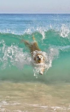 A beautiful golden labrador enjoying the surf while playing fetch.