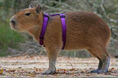 New favorite animal! The capybara! Thanks, Ted! Animals And Pets, Funny Animals, Cute Animals, Capybara, Animal Books, Gerbil, Cat Memes, Puns Jokes, Exotic Pets