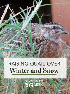 Learn how to raise coturnix and bobwhite quail over winter and how to handle a flock when snow arrives. Discover simple solutions that work. Backyard Chicken Coops, Backyard Farming, Chickens Backyard, Raising Quail, Raising Rabbits, Quail House, Quail Coop, Shade Perennials, Shade Plants