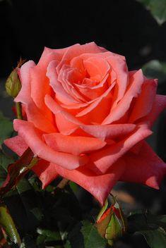 ✯ Peach Rose