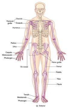Human brain anatomys human brain labeled diagram neuroscience appendicular skeleton diagram appendicular skeleton system overview ccuart Image collections
