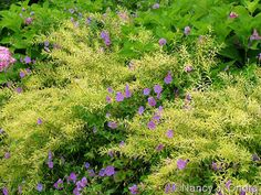 Pairing large, bushy Spiraea thunbergii 'Ogon' (Mellow Yellow) with small perennial Geranium Rozanne; lovely pastel color combo and Rozanne's blooms spring up through Ogon's foliage. Having the lovely, pastel pink, large leaved hydrangea in back is perfect! ~**Nancy Ondra designs, the Garden Michelangelo**