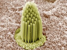 A bundle of stereocilia projecting from the epithelium of the papilla, a sensory patch in amphibian ears.These actin-rich bundles protrude from the apical surface of hair cells lining the inner ear and vibrate in response to sound waves. Scanning Electron Microscope, Microscopic Photography, Micro Photography, Cell Line, Microscopic Images, Macro And Micro, Inner Ear, Weird Science, Body Systems