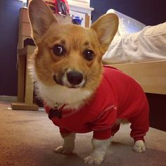 Little corgi buddy