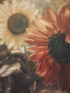 från min trädgård, solrosor, lisenart Dandelion, Flowers, Plants, Pictures, Photos, Dandelions, Plant, Taraxacum Officinale, Royal Icing Flowers