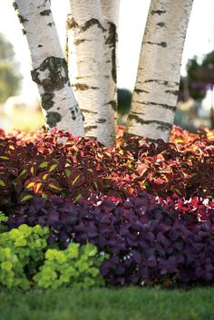 Gorgeous color combo planted up underneath these birch trees! Wow!