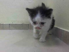 Safe! NYC Sweet & Adorable Kitten TO BE DESTROYED 08/14/14  SQUISHY came in with Group/Litter #K14-189575.. Animal ID # A1009985.  Female black & white about 5 WEEKS old. https://www.facebook.com/nycurgentcats/photos/a.844226288928693.1073742398.220724831278845/844227172261938/?type=3&theater  I came in the shelter as a STRAY on 08/09/2014 from NY 11212, owner surrender reason stated was STRAY.