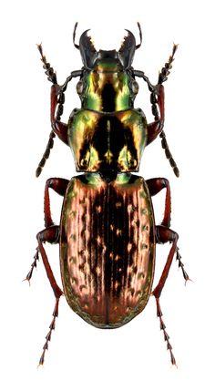 Pterostichus pilosus
