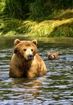 Grizzly bear and cub # animals