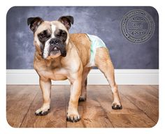 Kash - April 8 - English/French Bulldog available for adoption. See post for details!