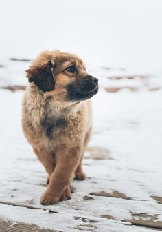 My automatic assumption is that this is a Leonberger puppy, altthough I could very well be wrong given the coat appears too short. Whatever the breed(s) it truly is gorgeous.