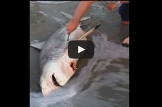 Watch A Man Deliver Three Baby Sharks From Dead Mother With Emergency C-Section | IFLScience