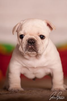 Baby bulldogs are my weakness.