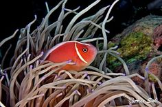 Pink Skunk Clown Fish