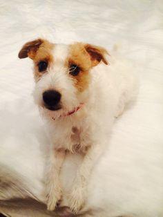 Kali x @shivliana Jack Russell Parsons Terrier