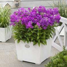 Bilde av HØSTFLOKS 'PURPLE FLAME' Plants, Purple, Planters, Purple Flame, Garden