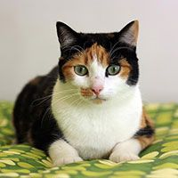 Beautiful calico kitty. #Cats