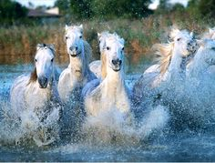 Wild Camargue horses ♥  'The wild white horses of the sea'