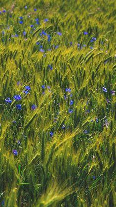 Flower Blue Nature Love Summer Day #iPhone #5s #wallpaper