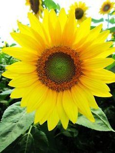 Sunflowers. via http://www.geekzu.com/