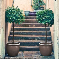1m Standard Bay Trees (Pair of 2): Amazon.co.uk: Garden & Outdoors
