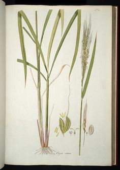 Image of Illustration of Oryza sativa 25 (arroz)