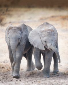 Two #cute baby #elephants just trudging along. Photo: Billy Dodson