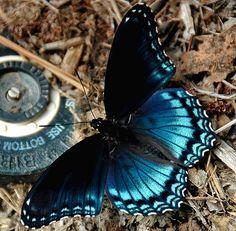 """Blue Monarch Butterfly...""""code blue"""" ❤️ 6-6-14"""