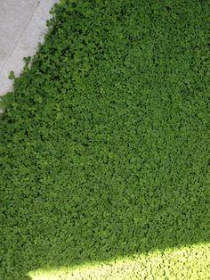 Trifolium Repens Micro Clover Premier Pacific Seeds Ltd 203 19315 96th