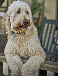 goldendoodle dogs, golden doodle d Goldendoodle Black, Golden Labradoodle, Goldendoodle Grooming, Dog Grooming, Happy Animals, Cute Baby Animals, Labradoodles, Goldendoodles, Golden Doodle Dog