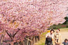 Enjoyment -- A walk under the kawazu cherry blossoms on a very windy day. // By David LaSpina of JapanDave.com